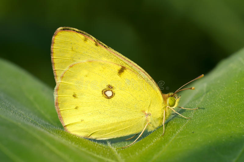 Yellow cabbage butterfly. A yellow cabbage butterfly lands on leaves royalty free stock photo