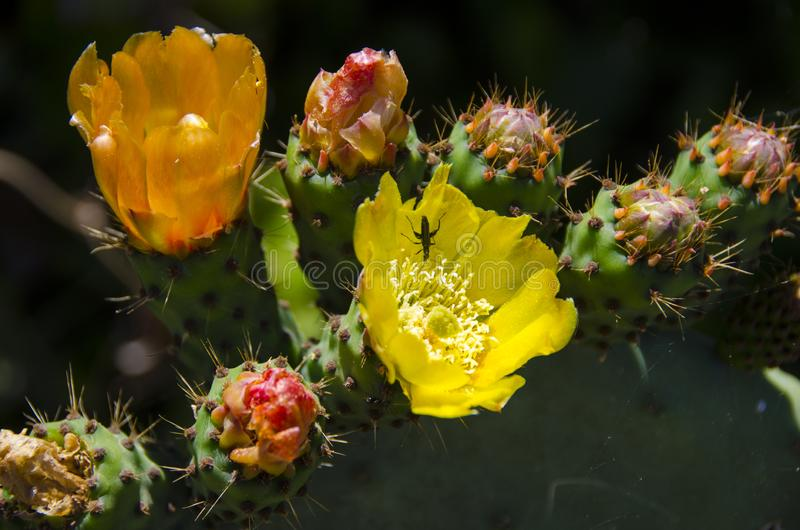 Yellow cacti flowers. In Italy royalty free stock images