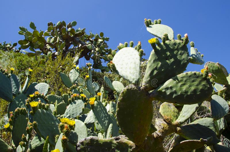 Yellow cacti flowers. In Italy stock photo