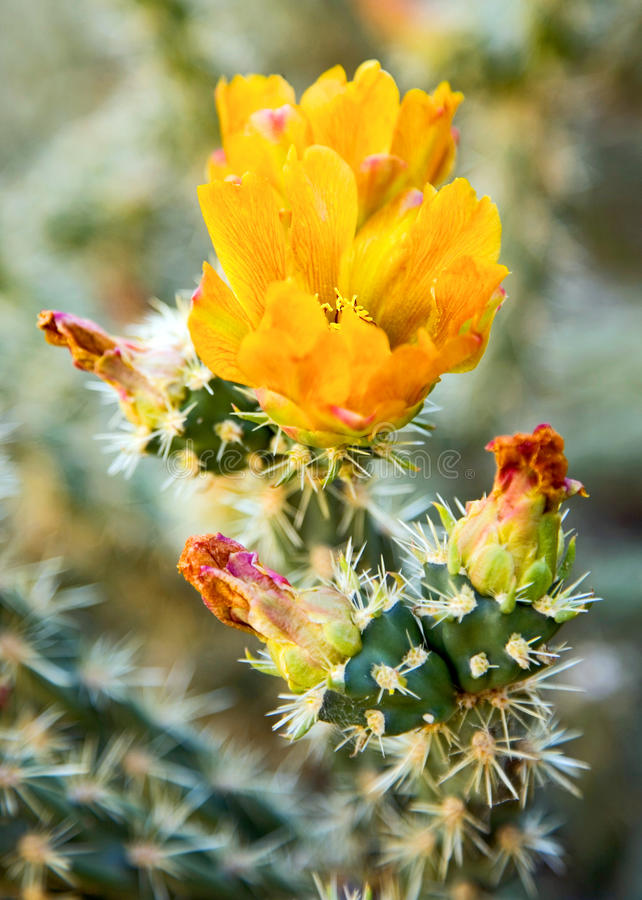 Yellow Cactus Flower. Details of a bright yellow cactus flower in the Mojave Desert in California stock images