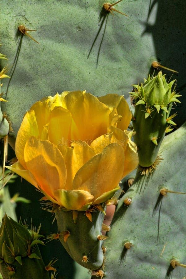 Free Yellow Cactus Flower, Matopos National Park, Zimbabwe Stock Photography - 113131172