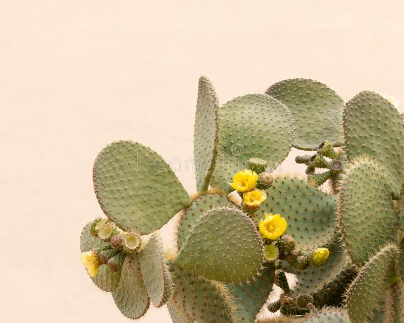 Yellow Cactus flower. Opuntia ficus isolated on a simple background stock photography