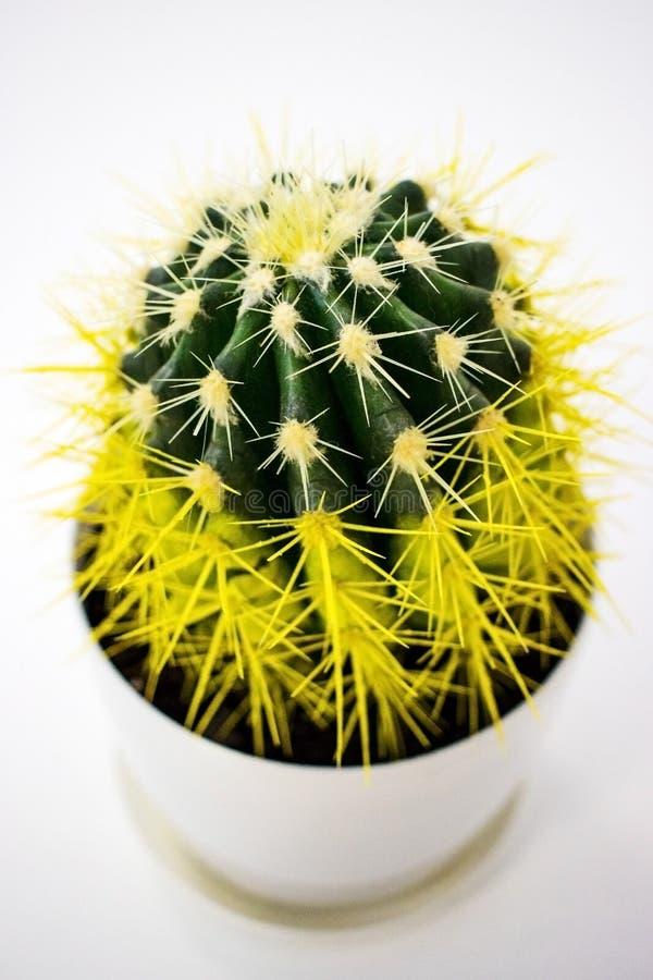 Yellow cactus in a white pot stock photo