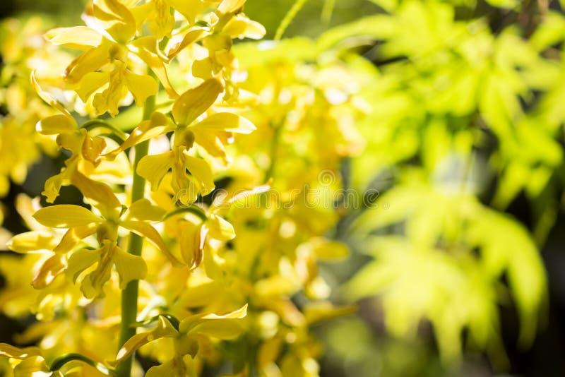 Yellow calanthe and blurs stock photos