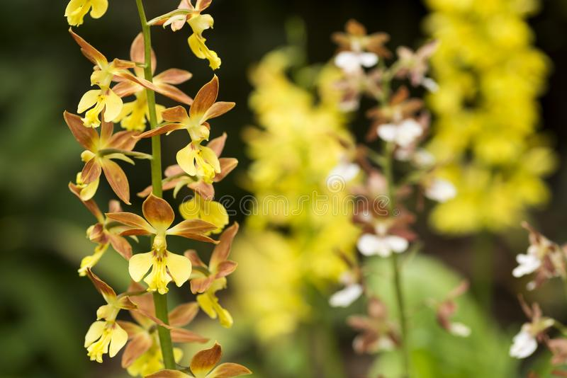 Yellow calanthe and blurs royalty free stock image