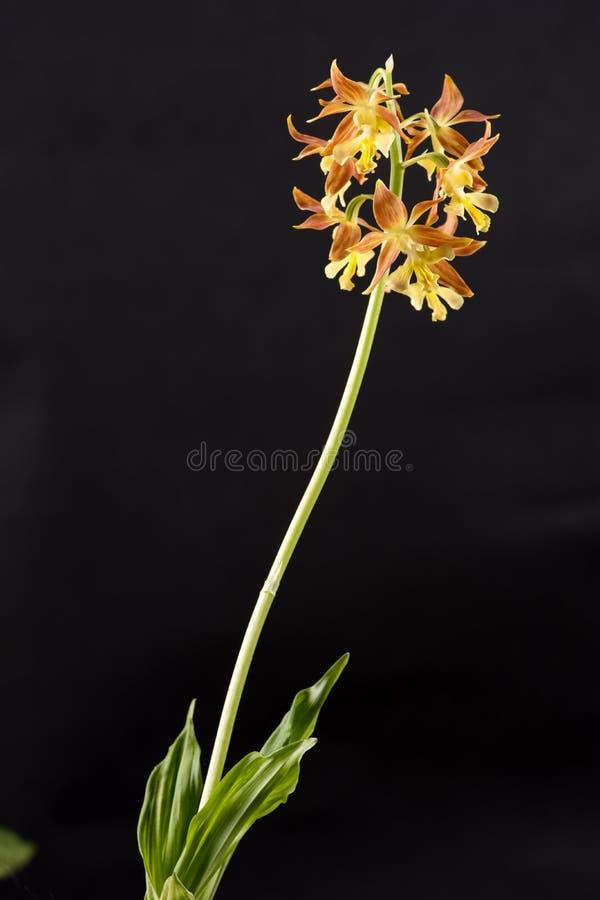 Yellow calanthe discolor flower stock photos