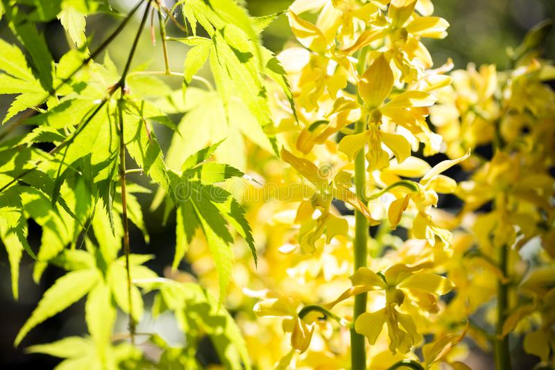 Yellow calanthe and maple royalty free stock photography