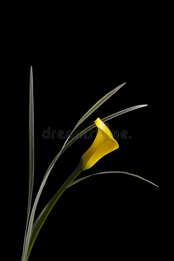 Yellow Calla Lily stock photos