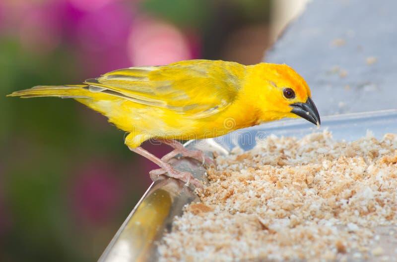 Yellow canary royalty free stock photo