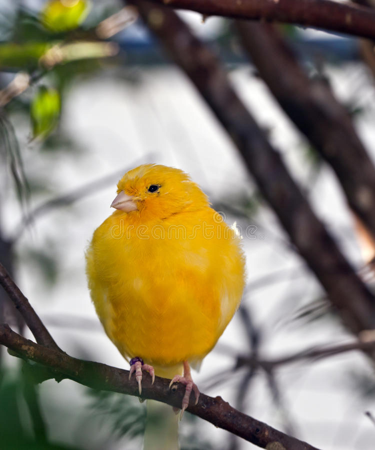 Download Yellow Canary stock photo. Image of canary, perched, feathers - 17528534