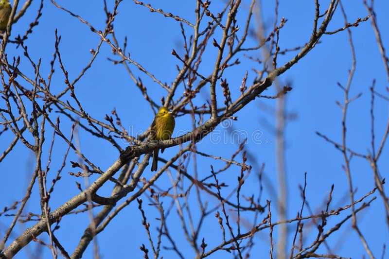 Yellow canary-bird citril sitting on the branch yellowhammer stock photography
