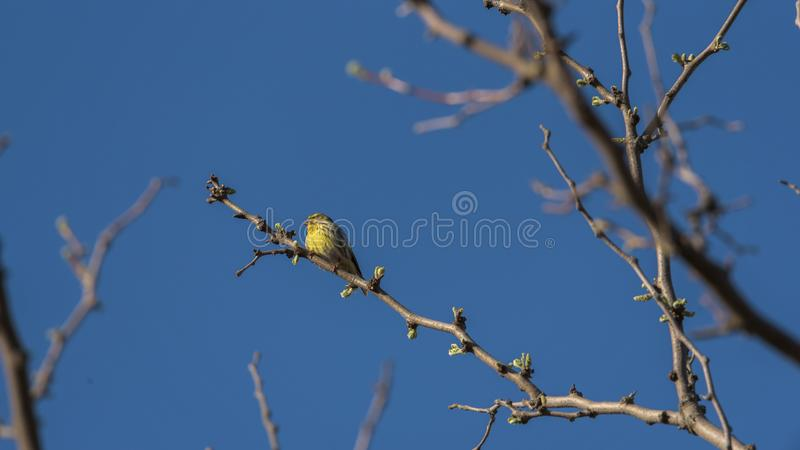 Yellow canary. Canary bird perched on a tree with blue sky background royalty free stock photos