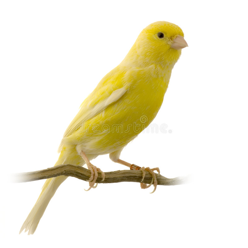 Yellow canary on its perch royalty free stock photography