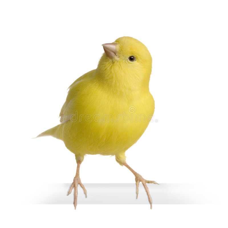 Yellow canary - Serinus canaria on its perch. In front of a white background royalty free stock photo