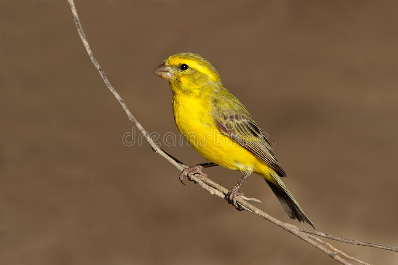 Yellow canary royalty free stock photography