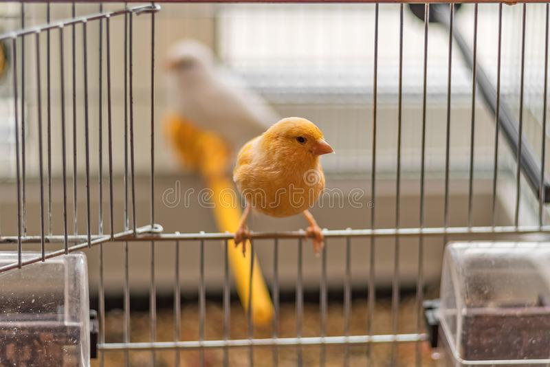 Yellow Canary sitting on open cage door, shallow depth of field stock images