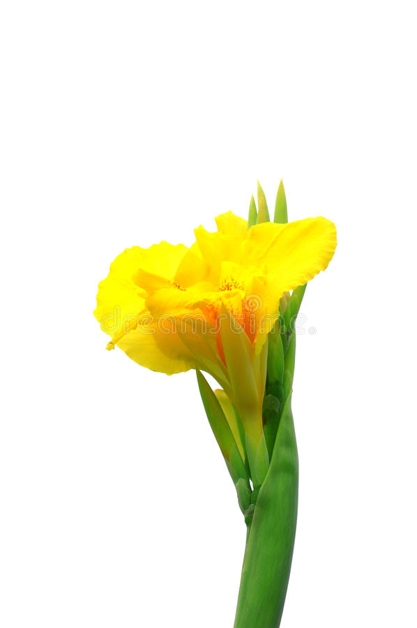 Download Yellow canna stock photo. Image of blooming, flower, beautiful - 10817112