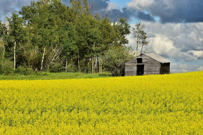 Yellow Canola Field and Old Granary royalty free stock photography