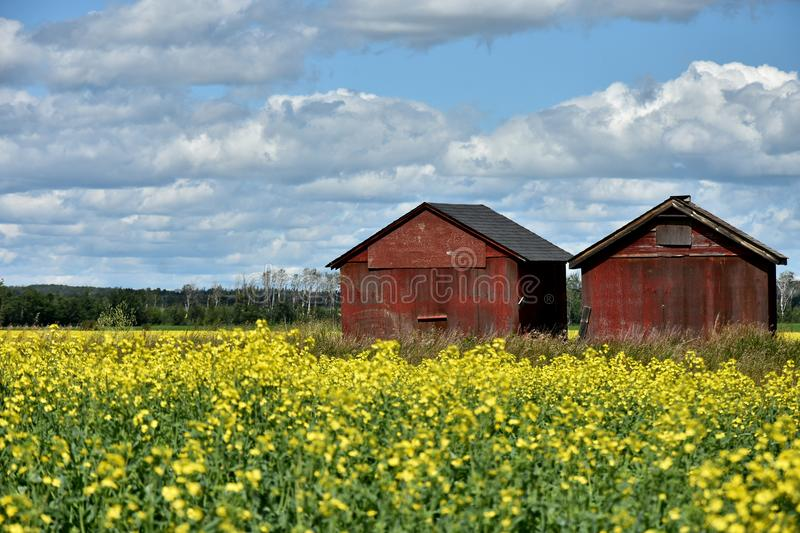 Yellow Canola Field and Two Old Granaries stock photography