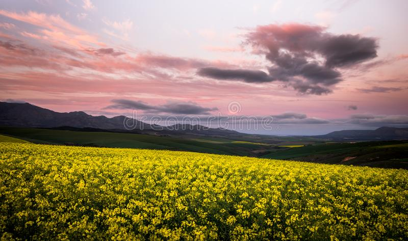 Yellow Canola flowers on a hill with mountains in the background with dramatic sunrise clouds. stock image