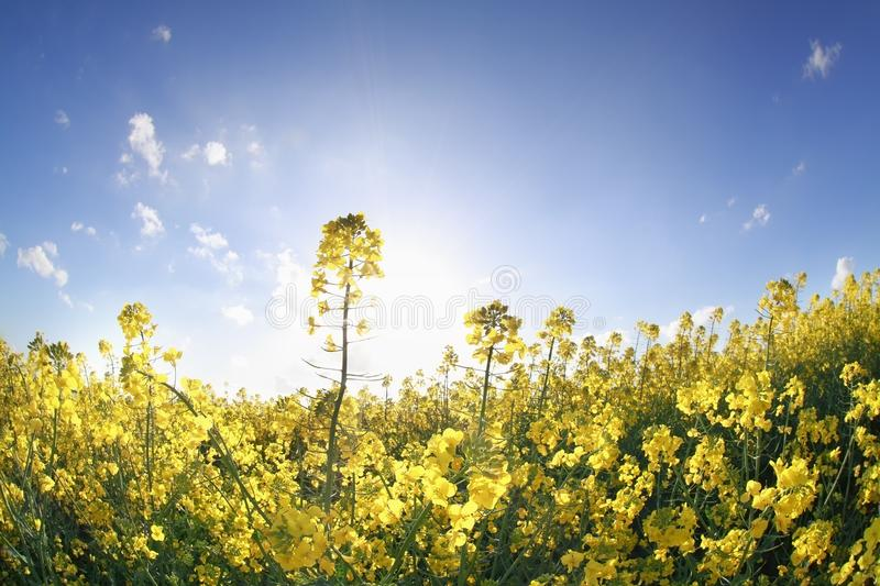 Canola flowers in sunshine over blue sky royalty free stock photo