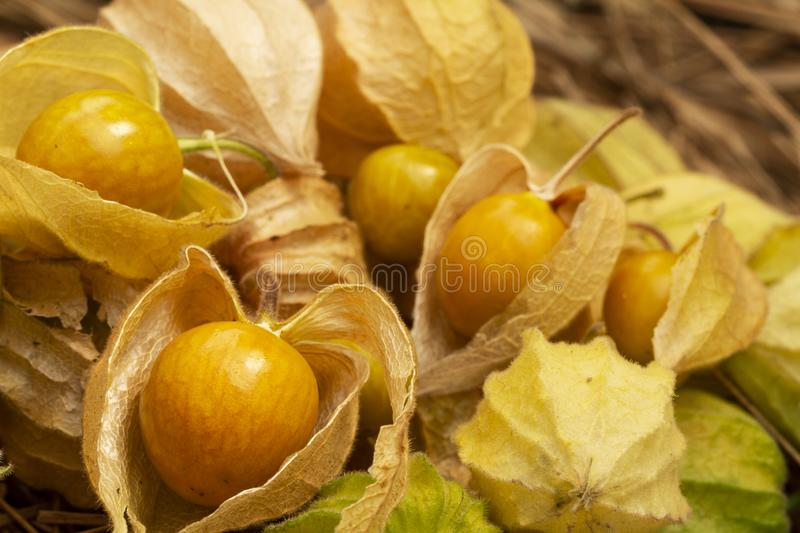 Yellow cape gooseberry fruit on the sand. Physalis peruviana edible tasty physalis orange yellow fruits in dry husks on stock photo