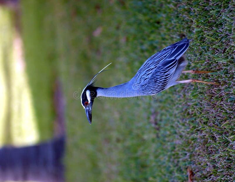 Yellow capped night heron. In Florida yard stock photo