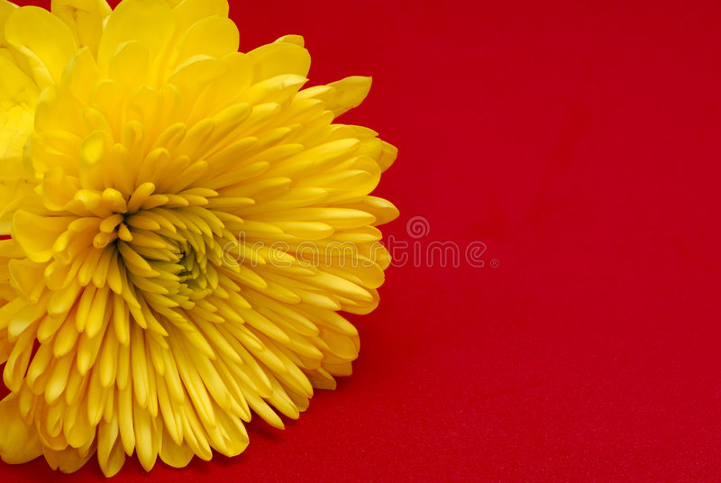 Yellow Carnation royalty free stock photos