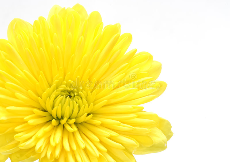 Yellow Carnation stock images
