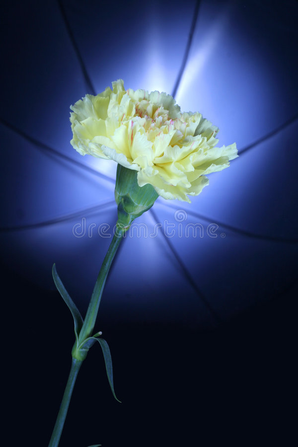 Download Yellow Carnation Against Umbrella Lighting In Back Royalty Free Stock Image - Image: 3626486