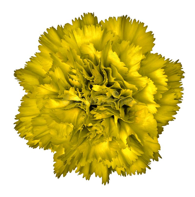 Yellow carnation flower isolated on white background close up download yellow carnation flower isolated on white background close up element of design mightylinksfo