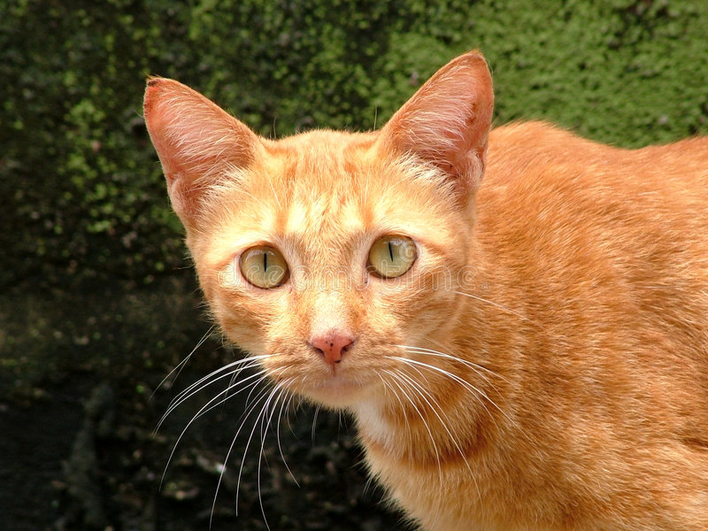 Yellow cat. Thai Cat. stock photos