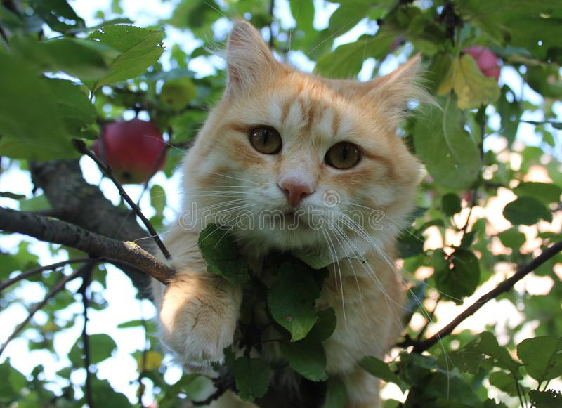 Yellow cat. Red cat on a tree. Eyes. Sight. Is sitting. The face of the cat. stock images