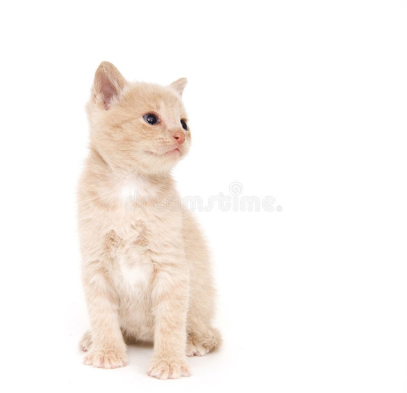 Download Yellow Cat On White Background Stock Photo - Image: 2726658
