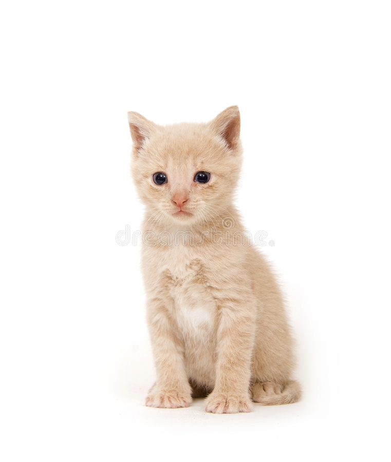 Download Yellow Cat On White Background Stock Photo - Image of kitty, feline: 2726660