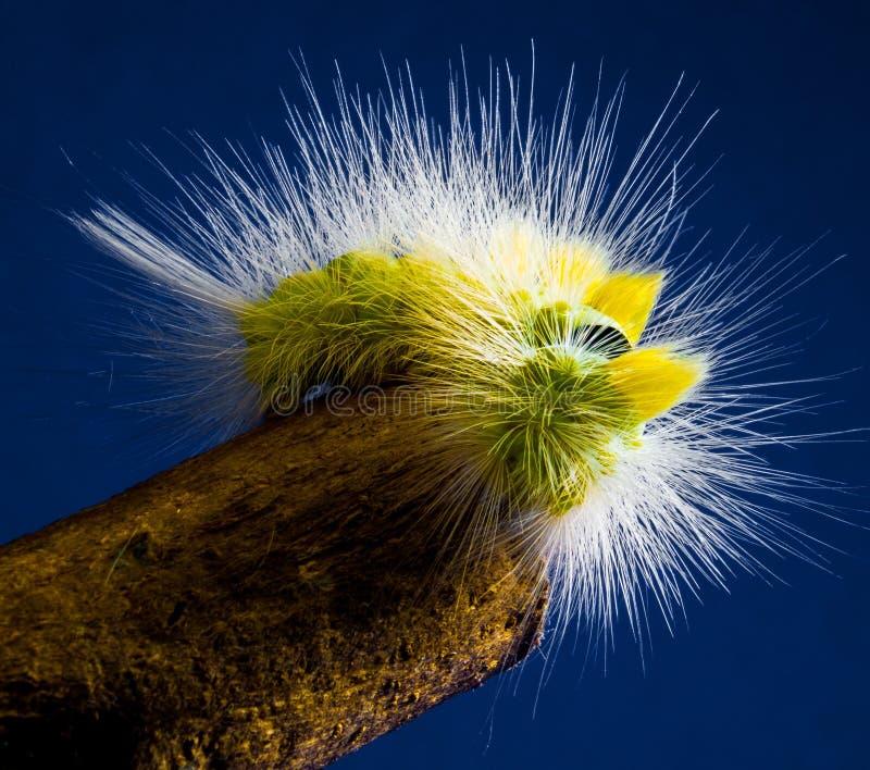 Yellow, Caterpillar, Close Up, Macro Photography royalty free stock image