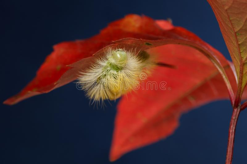 Yellow caterpillar hide under red leaf royalty free stock photos