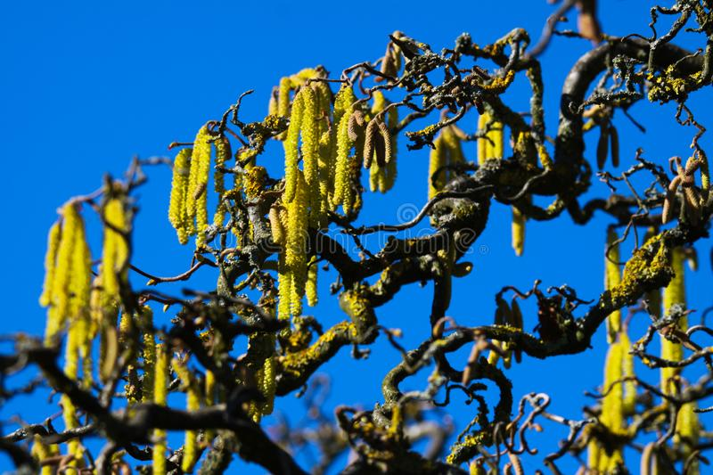 Yellow catkins on crooked bare branches covered with orange lichen Xanthoria parietina of old common hazel tree Corylus stock image