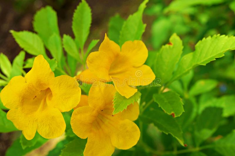 Yellow cats claw creeper. Photo of yellow cats claw creeper, funnel creeper, cat`s claw trumpet Dolichandra unguis-cati, Macfadyena unguis-cati and their leaves stock photos