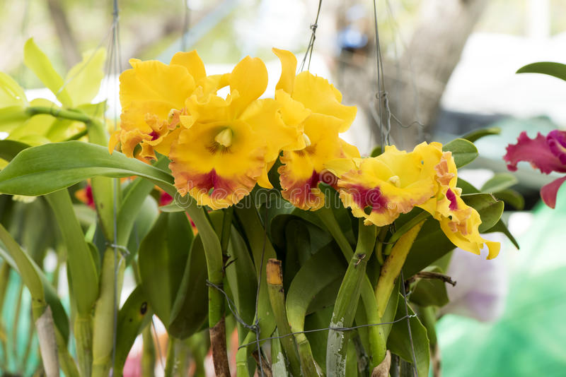 Yellow cattleya orchids on natural garden background for Dream plants for the natural garden