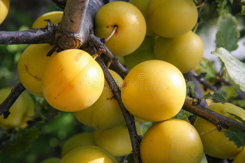 Yellow cherry plum fruit on a branch close-up stock photography