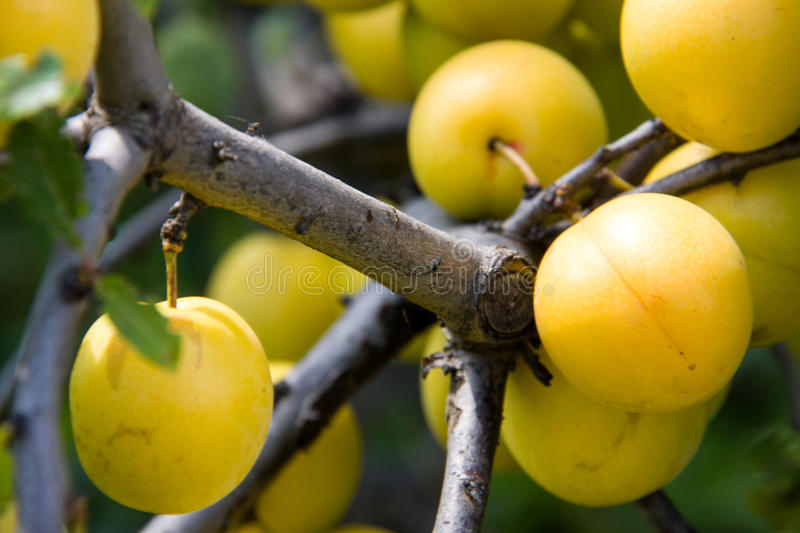 Yellow cherry plum fruit on a branch close-up.  stock photography