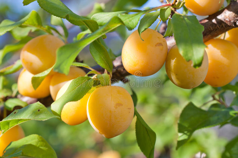 Yellow Cherry Plums on branch stock photo