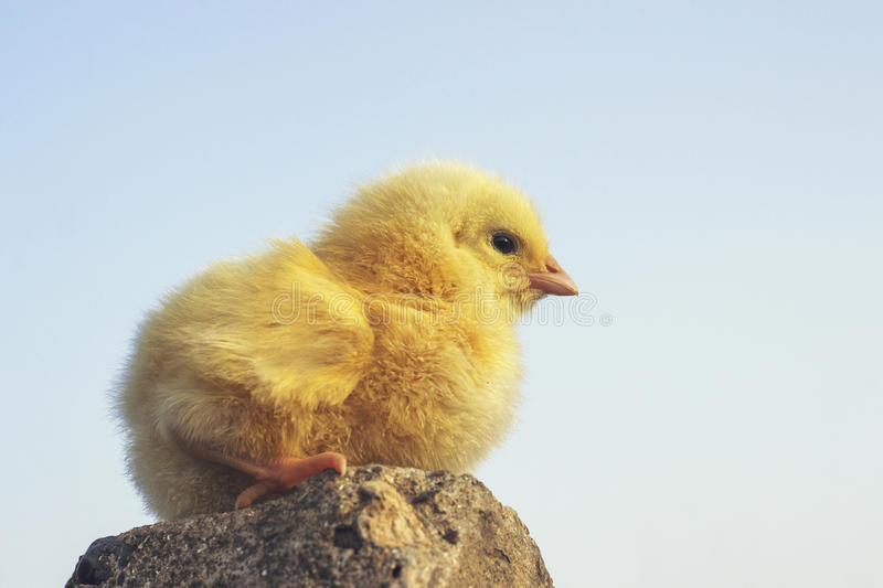 Yellow chick royalty free stock image