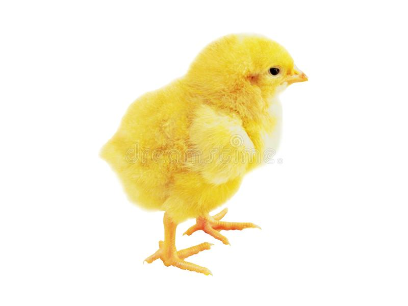Chicken weekly stock image