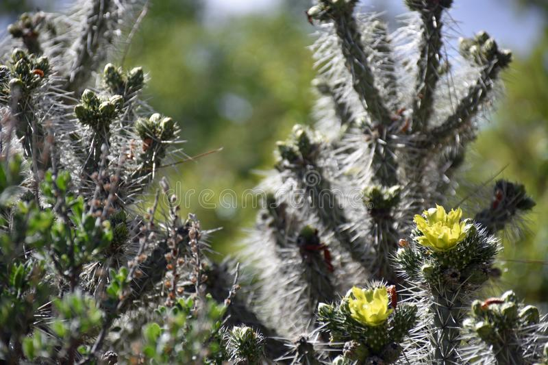 Yellow Cholla Cactus Blossoms in Spring. At the Botanical Gardens in New Mexico royalty free stock photo