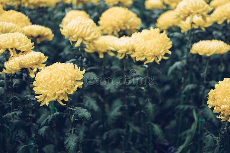 Yellow chrysanthemum. blooming aster flower in garden. flora fie. Ld. nature background royalty free stock image