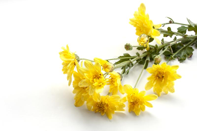 Yellow Chrysanthemum bouquet bloom isolated on white background. royalty free stock photo