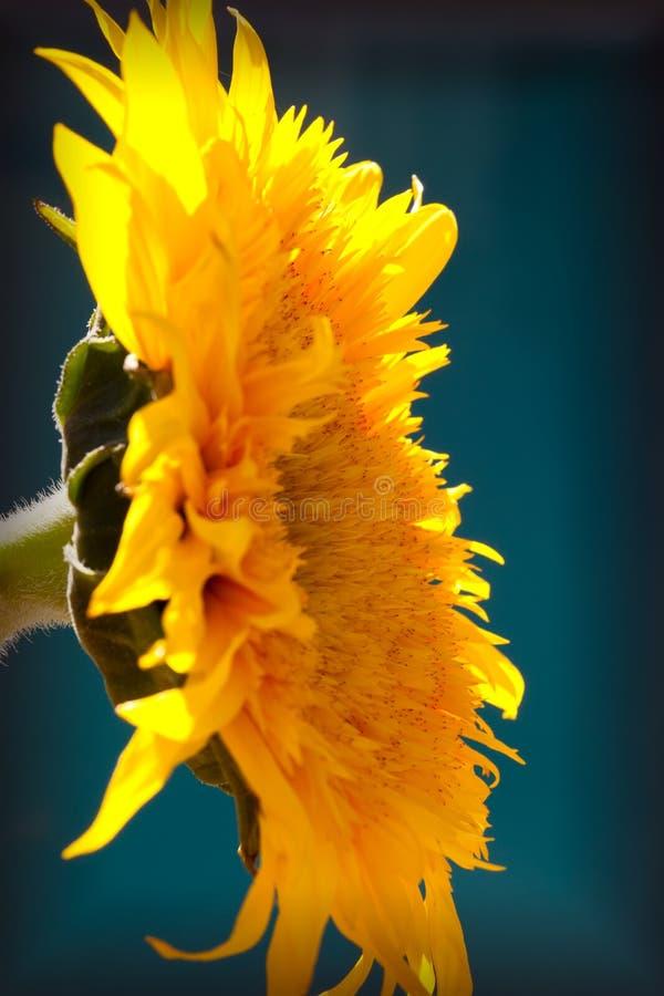 Download Yellow Chrysanthemum Flower Stock Photo - Image: 17656966