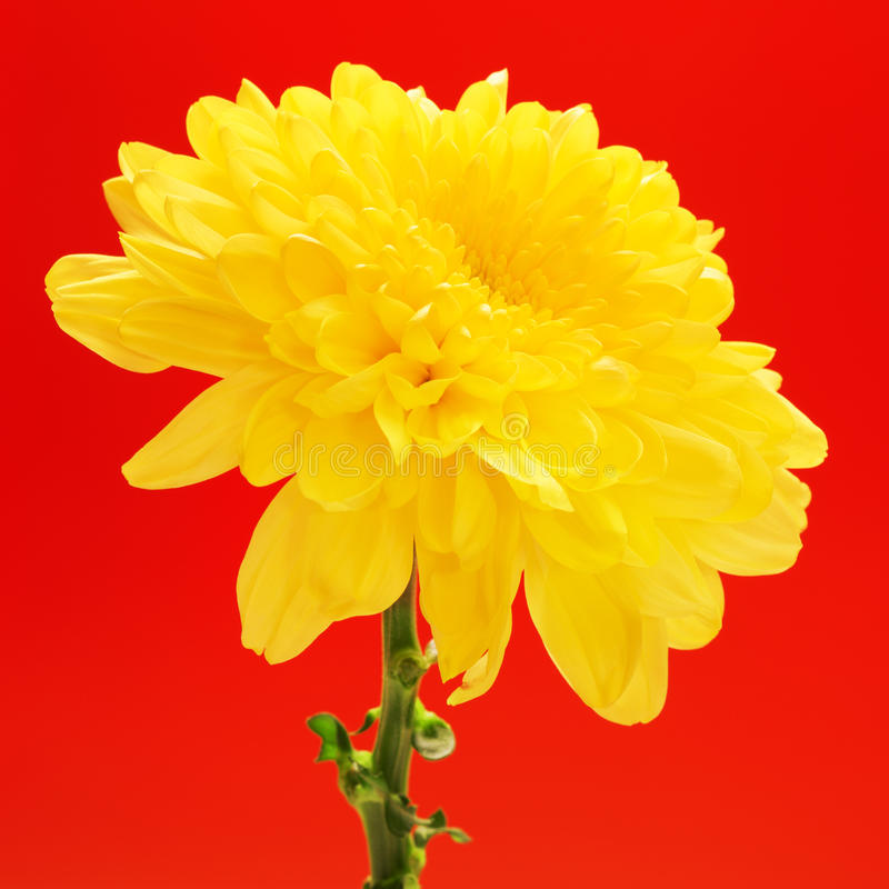 Yellow Chrysanthemum Flower royalty free stock photography